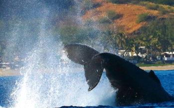 Le show des baleines en douze clichés à couper le souffle
