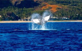 Des baleines observées au large de nos côtes, les premières de la saison