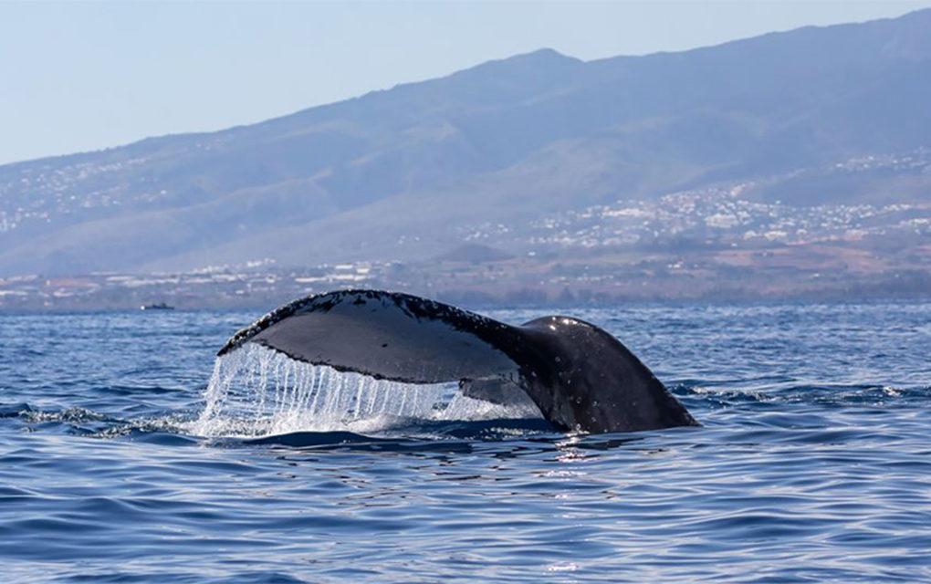 Vidéo – Et voilà la première baleine de la saison!