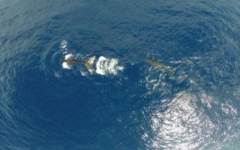 Deux cachalots nains observés au large de notre île