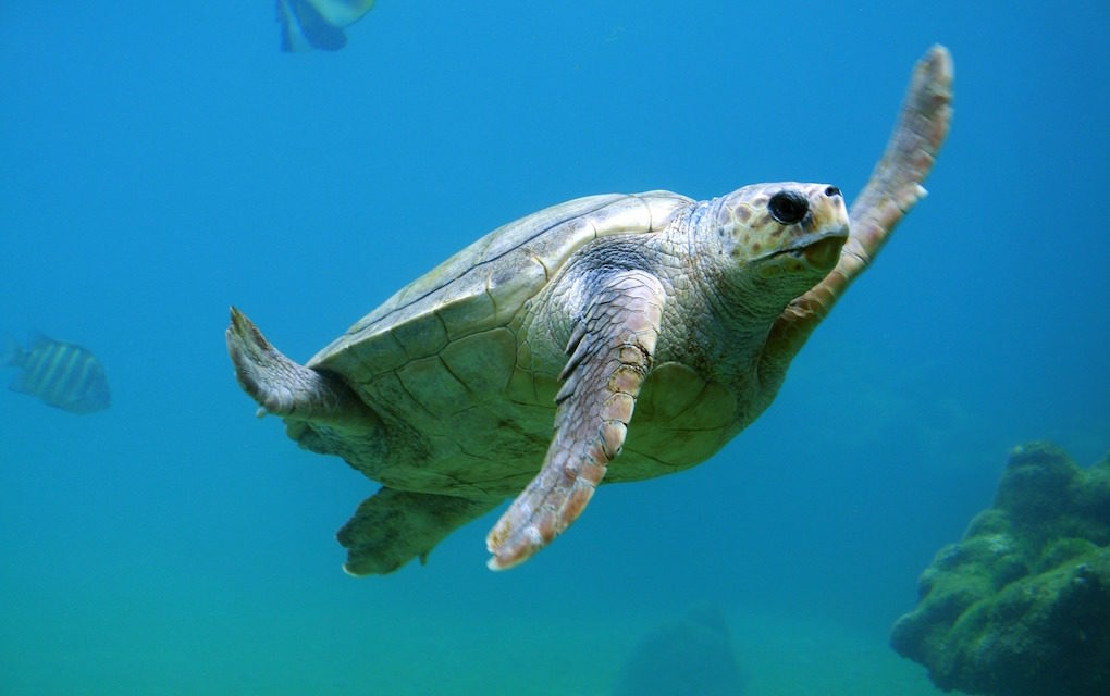 Aidez la recherche en parrainant une tortue du Centre de soins