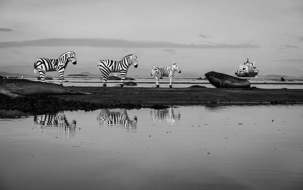 Changement climatique : de drôles de zèbres donnent matière à penser au Tampon
