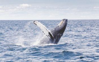 Opération Combava : huit espèces de cétacés identifiées par Globice