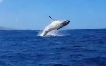 Vidéo – Un magnifique saut de baleine immortalisé au large de St-Gilles