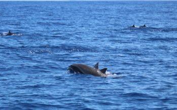 Un groupe d'un millier de dauphins observé au large de St-Pierre